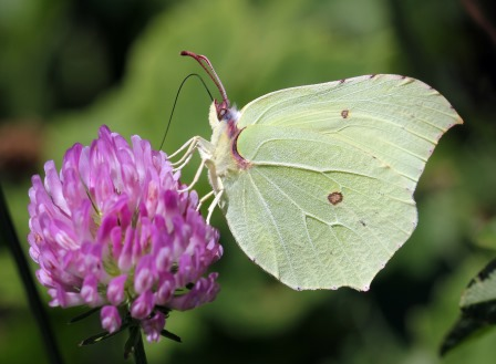Brimstone butterfly. Photo: Jim Higham