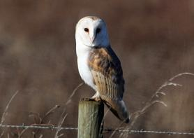 Barn Owl in Birch Living Landscape. Photo: Peter Bowden