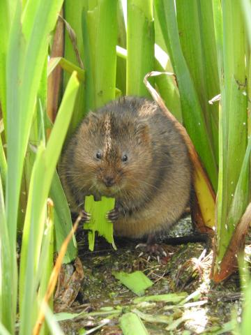 Water Vole. Photo: Essex Wildlife Trust.