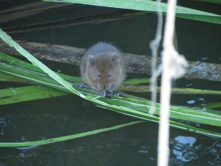 A young water vole in Essex following a successful reintroduction scheme. Photo: Essex Wildlife Trust.