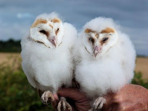 Barn Owl Monitoring. Photo: Essex Wildlife Trust