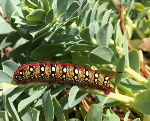 Spurge Hawk Moth at RHS Hyde Hall. Photo: the RHS