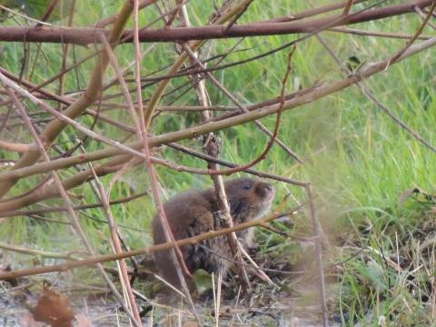 Water vole. Photo: Charlie Oliver, EWT