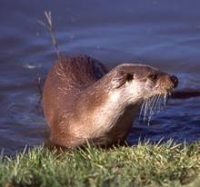 Otter. Photo: Roger Hance