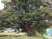 Veteran Oak in Essex. Photo: Essex Wildlife Trust