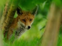 Fox. Photo: Ben Andrew