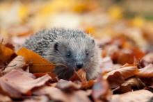Hedgehog. Photo: Tom Marshall