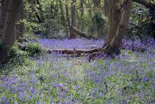 Bluebells at Pound Wood, Essex. Photo: John Turner