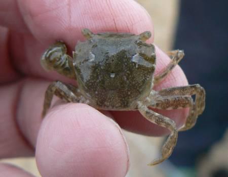 Hemigrapsus takanoi. Photo: Essex Wildlife Trust