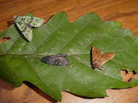 Merveille du Jour (left), Black Rustic and Satellite moths at Marks Hill Wood. Photo: Peter Furze.