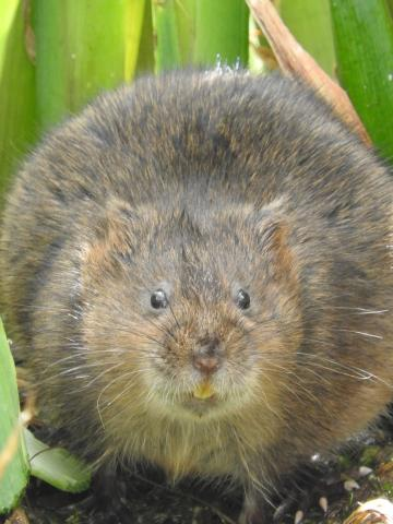 Water Vole. Photo: Essex Wildlife Trust