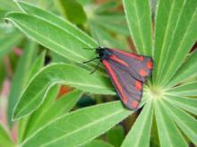 Cinnabar moth_LS