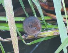 Young Water Vole at Fordham Hall. Darren Tansley